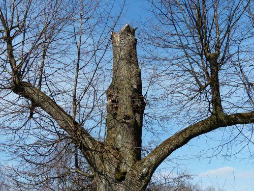 medis,ąžuolo,senas,atšauktas,estetinis,filialai,medžio dvasia,veidas,medžio barzdas,dvasia