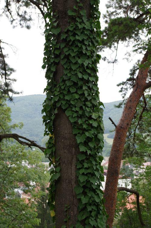 medis,užaugo,ivy nuskaityti
