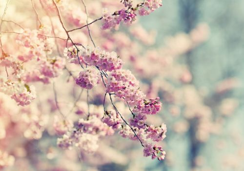 medis,žiedas,žydėti,rožinis,gėlė,krūmas,žydėti,pavasaris,gamta,augalas