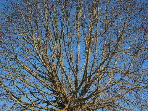 medis,Kahl,pavasaris,elnias,estetinis,globojamos,dygsta,karūna