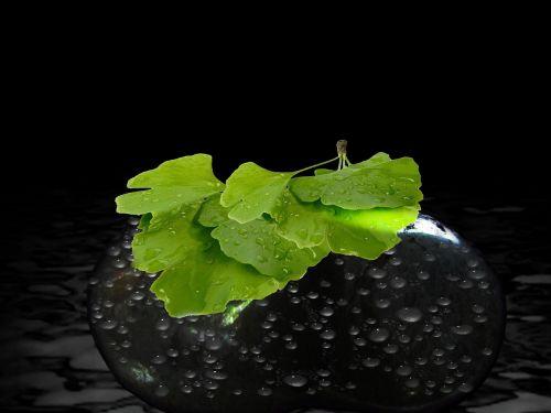 medis,lapai,Gingko,veidrodis,Kinija,žalias,augalas,lašas vandens,akmuo,šlapias,lašelinė,vanduo,liūtys,gamta,lapai,akmenukas,Uždaryti,mistinis