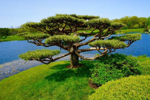 medis,japoniškas sodas,kraštovaizdis,gamta,botanikos sodas,taikus,augalas,ežeras,lauke,vasara,atsipalaiduoti,žalias,vanduo,ramus,sodas