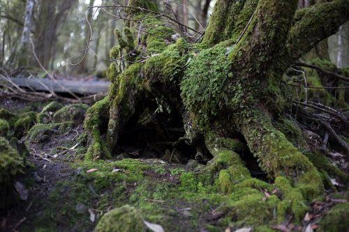 medis,miškas,samanos,kraštovaizdis,gamta,miško medžiai,bagažinė,urvas,fantazija,mediena,tuščiaviduris,tamsi,Elfas,drakonas,fėja