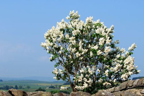 medis,Alyva,alyvmedis,gėlės,balta,žiedas,žydi,žydi,sezoninis,vasara,žydi,sezonas,gamta,augalas,flora,lauke,dangus,mėlynas