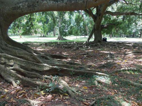 medis,gamta,sodas,Šri Lanka,peradeniya,ceilonas