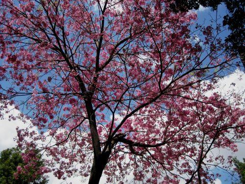 medis,rožinis,gėlės,padengtas,pavasaris,šviežias,graži,mėlynas dangus,debesys