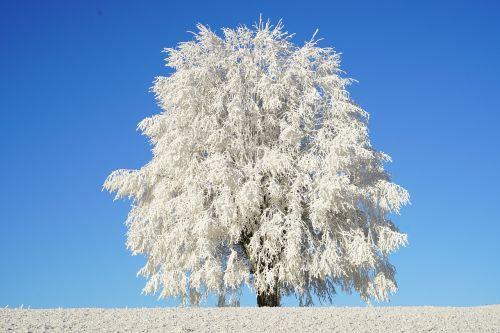 medis,auskaras,filialas,ledas,kristalų formavimas,snieguotas,eiskristalio,kristalai,sušaldyta,žiema,ledas,šaltas,šaltis,prinokę,ledinis,vienas medis,vienišas medis,vienas stovintis,gamta,kraštovaizdis,idilija,idiliškas,leutschenberg,schoenthal,žiemą,ledinis,kristalas,winterimpression,sunkiausia,žiemos magija,balta,sniegas,žiemos nuotrauka,žiemos fotografija,žiemos nuotrauka,winteraufnahme,jura,Rytų Jūra,swiss jura,ledo adatos,magiškas miškas,žiemos pasaka,pasaka,stebuklinga