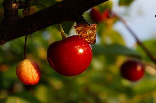 medis,prinokę,raudona,gėlė,vasara,rūgštus,vyšnia,sulaukti,Uždaryti,augalas,bordo,vaisiai,gamta,aplinka