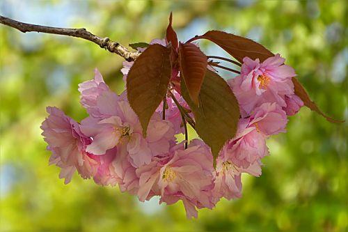 medis,žiedas,žydėti,japonų vyšnios,prunus serrulata,rožinis,pavasaris