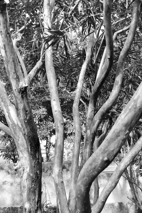 medis,abstraktus,atgal ir balta,gamta,apsėstas,vienišas,liūdnas,sausas,Šri Lanka,Mawanella,ceilonas