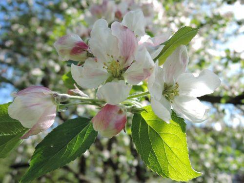 medis,gėlė,Obuolių medis,žydintis medis,pavasaris,gamta,lakštas,lapija,balta,rožinis,vaismedis,švelnus,romantiškas,kvítek,dangus,saulė,rytinė