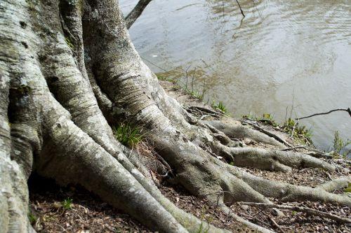 medis,vanduo,šaknis,gamta,pavasaris,žalias,aplinka,bagažinė,srautas,miškas,kraštovaizdis,natūralus,mediena,atspindys,aplinkosauga,mineralinis,tapatybė,lauke