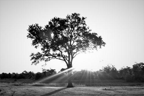 medis,saulės šviesa,kraštovaizdis,nostalgiškas,saulės šviesa,saulėtas,gamta,šviesa,juoda ir balta nuotrauka,vasara,pavasaris,natūralus,šviesus,sezonas,saulėlydis,saulėtekis,saulės šviesa,oras,peizažas,filialas,lauke,vaizdingas,lapai,dangus,žalias,mediena,žolė,aplinka,miškas,pieva,scena,šviežias,diena