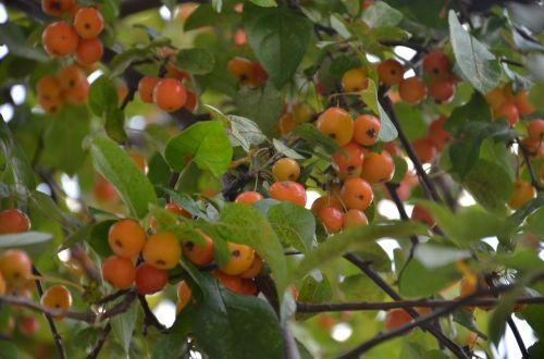 medis,crabapples,maži obuoliai