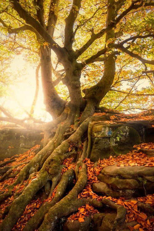 medis,nuostabus,užaugo,gamta,samanos,ruduo,kritimo lapija,šaknis,saulės spindulys,rudens miškas