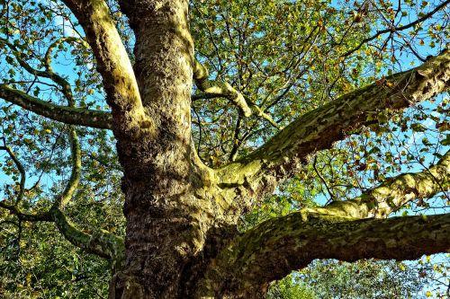 medis,filialai,milžinė medis,senas medis,storas kamienas,žievė,lapija