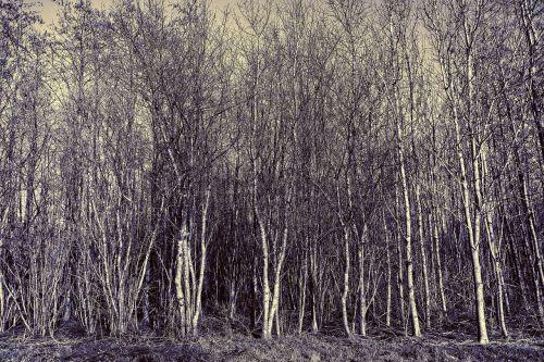 medis, giraitė, miškas, bagažinė, lieknas, plonas, siaura, be lapų, plikas medis, žiemos medis, kraštovaizdis, be honoraro mokesčio