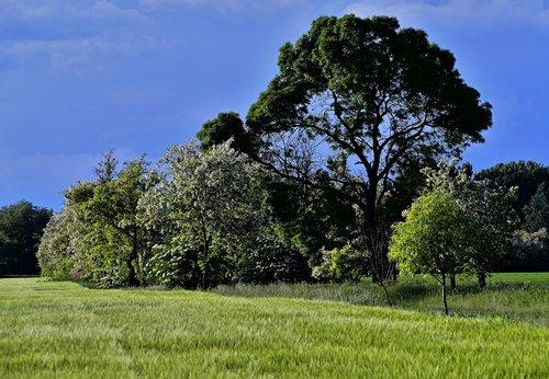 medis, žydėjimo, pobūdį, pavasaris, gėlės, dangus, žalias, debesys, Acacia, senas medis, žydi medis, laukai