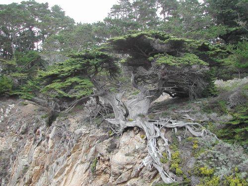 medis,monterėjus,kranto,keista,eksponuotos,šaknys,akmenys,pakrantė,Kalifornija
