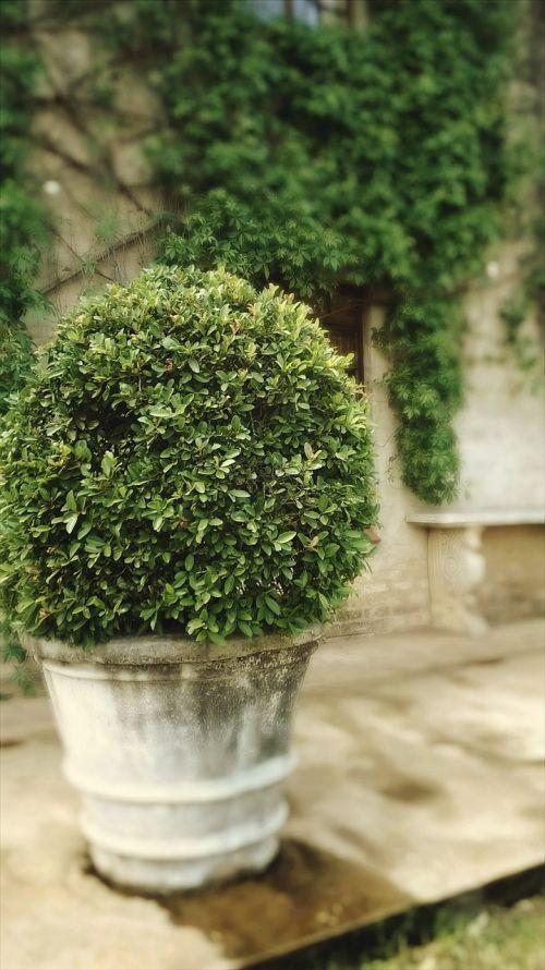 medis,augalas,storas,manikiūras,sodas,žalias,krūmas,sodininkystė,dekoratyvinis,puodai,sodininkystė