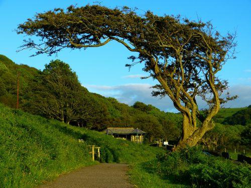 medis,kreivas,vėjas sulinkęs,gnarled,gamta,vėjas,Anglija,Jungtinė Karalystė