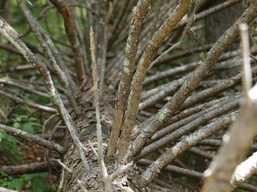 medis,Eglė,spygliuočių,Kalėdų eglutė,miręs medis,senas medis,Waldsterbenas,kraštovaizdis,miškas,gamta,estetinis