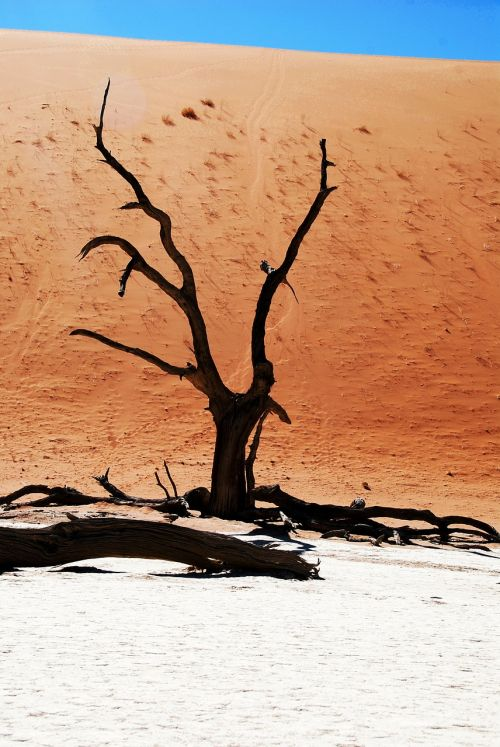 medis,dykuma,Namibija,miręs vlei,deadvlei,molio indelis,sausra,afrika,sausas,mirtis,smėlis