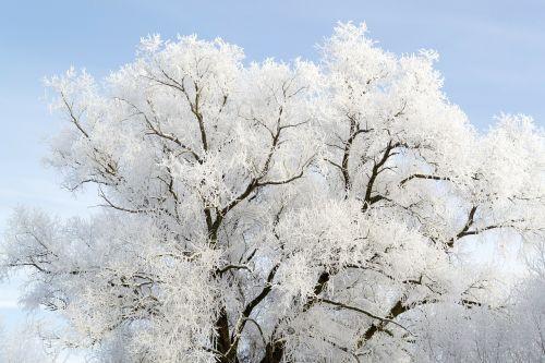 Medis, Auskaras, Balta, Sniegas, Šaltas, Žiema, Eiskristalio, Ledas, Sušaldyta, Ledinis, Gamta, Ledinis, Užšaldyti, Šaltis