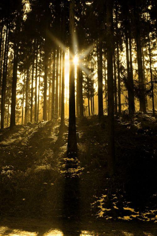 medis, miškas, eglė, samanos, gamta, gyventi, gyventi nauji, miško takas, kraštovaizdis, žalias, saulės šviesa, nuotaika, miškai, žurnalas, morgenstimmung