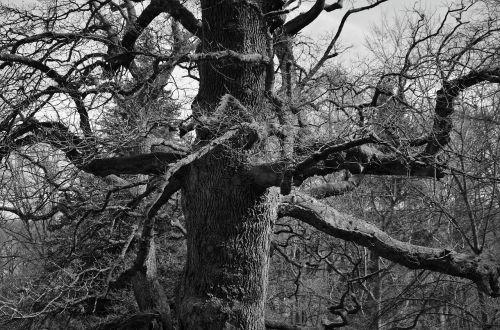 medis,estetinis,senas,juoda balta,žurnalas,filialai,žievė,Kahl,tarpkojis,filialų filialai,gnarled