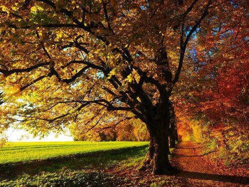 medis,alėja,atgal šviesa,saulė,laukas,toli,dangus,žalias,gentis,saulėlydis,idiliškas,rudens nuotaika,lapai,ruduo,saulėtas,spalvinga,kritimo spalva,kritimo lapija,Citrinmedis,akmens kalkės,tilia cordata,linda,tilia,kalkių augalas,tilioideae,Mallow,malvaceae,žiema linda,akmens linda,filialas,miškas,gamta,pieva,miško takas,miško pakraštis,takas,žygiai,randweg,miško krašto kelias,miško takas,miško pakraščio takas,panoramos takas,Höhenweg,ulmer höhenweg,eselsberg,ulm,Promenada,krašto takas