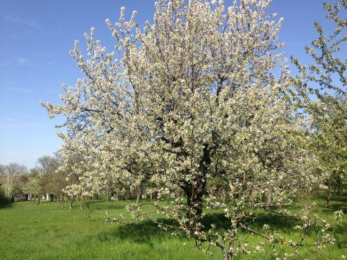 medis, vyšnia, vaisiai, pavasaris, žiedas, žydėti, sodas, baltas žiedas, vyšnių žiedas, gėlės, gamta, pieva, pavasario pabudimas, žydėjimo šakelė, lenz, flora, frühlingsanfang, balta