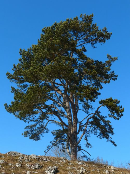 medis,pušis,dangus,mėlynas,plienas mėlynas