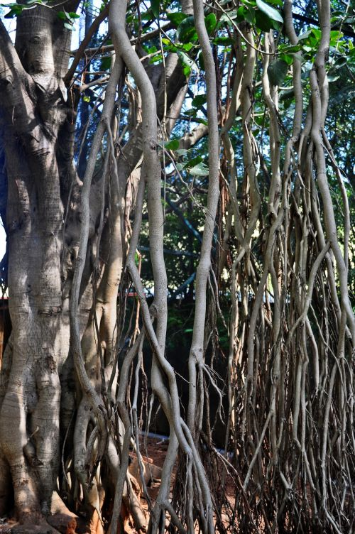 šaknys, medis, gamta, filialai, bagažinė, medžių šaknys su šaknimis