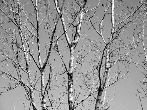 medis, filialai, galūnės, žiema, medžių šakos