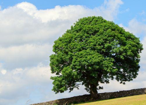 medis, vasara, lapai, lapai, žalias, kraštovaizdis, dangus, mėlynas, debesys, gražus, gamta, vienas, laukas, sezonas, medis vasarą