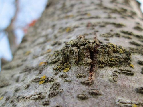 makro, mediena, medis, augalas, augmenija, mazgas, augimas, medžio mazgo makro 10