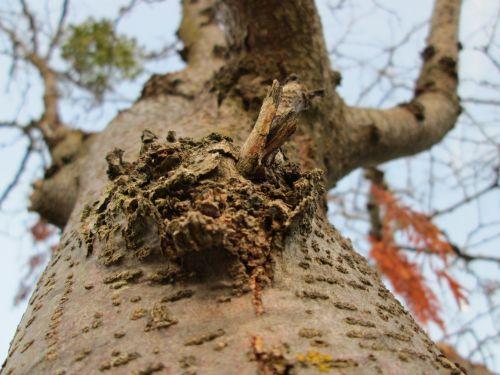 makro, mediena, medis, augalas, augmenija, mazgas, augimas, medžio mazgo makro 11