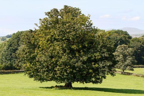 medis, vasara, kraštovaizdis, lapija, lapai, žalias, žolė, mėlynas, dangus, žemės ūkio paskirties žemė, ganykla, laukai, Anglija, gražus, gamta, kaimas, kaimiškas, Laisvas, viešasis & nbsp, domenas, medžio kraštovaizdžio vasara