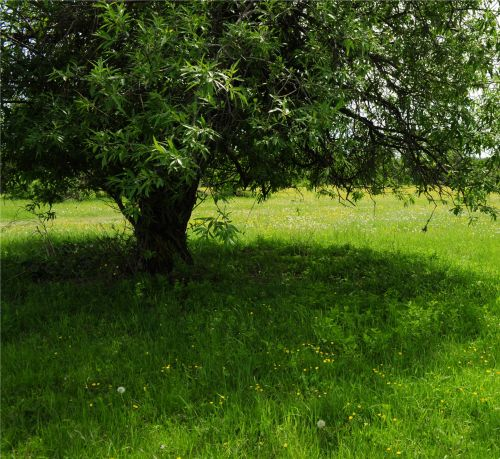 medis, bagažinė, lapai, žolė, vasara, žydi, laistymas, šešėlis, poilsis, medis su žaliu žoliu