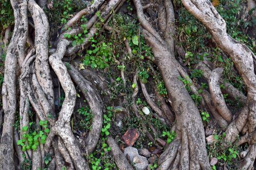 medis, šaknys, gamta, bagažinė, žemė, lapai, medžių šaknys 2