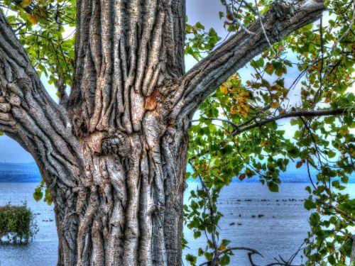 medis, medžiai, bagažinė, medis & nbsp, bagažinė, gamta, vanduo, ežeras, lauke, tekstūra, dažytos, tapybos, meno, medžio kamienas