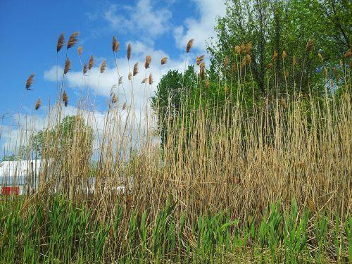 medžiai,medis,žolė,kukurūzų žolė,aukšta žolė,dangus,mėlynas,žalias