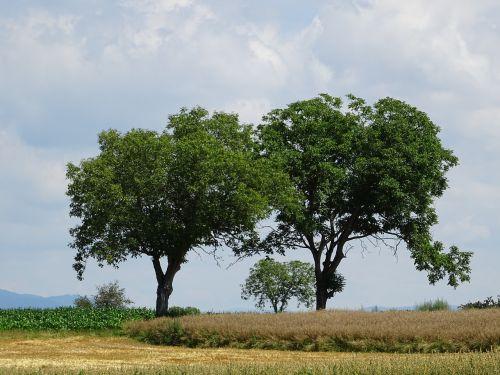 medžiai,kukurūzų laukas,laukas,debesys,kiškis,žalias,gamta,Žemdirbystė,rugių laukas,kaimas