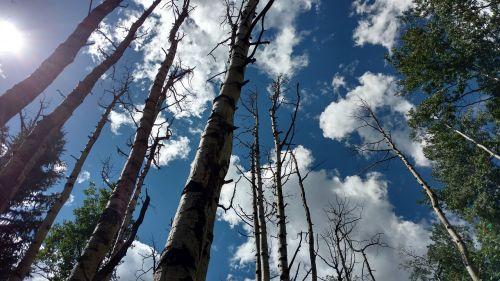 medžiai,aspen,dangus,mirę medžiai,miškas,mėlynas dangus