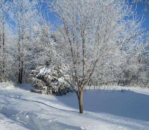 medžiai,sezonas,balta,šaltas,ledas,sniegas,žiema,šaltis,snieguotas,sušaldyta,lauke,oras,sniegas,Saunus,ledinis,sniegas,blizzard,sniegas