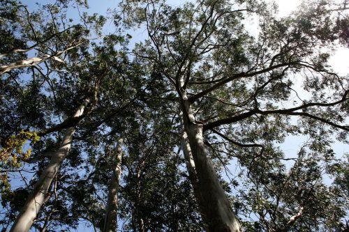 medžiai,miškas,gamta,kraštovaizdis,žalias,pušis,filialai,filialų filialai,gentis,karūna
