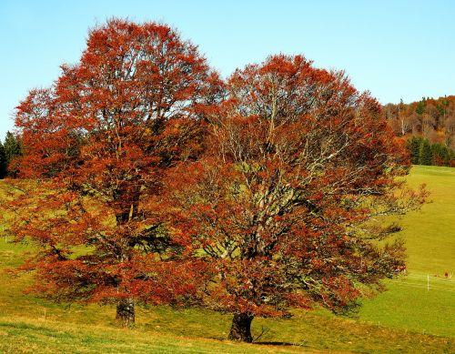 medžiai,knyga,lapuočių medžiai,seni medžiai,gnarled medžiai,gyvenimo istorija,nuotaika,lapai,auksinis,raudona,rudens spalvos,spalvinga,vaizdingas,rudens kraštovaizdis,farbenpracht,ruduo,aukso ruduo,kraštovaizdis,rudens nuotaika,farbenspiel,dažymas,šviesus,auksinis spalio mėn .,dangus,mėlynas,miškas,rudens motyvai,rudens miškas