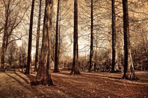 medžiai,aukšti medžiai,lagaminai,plikas medžiai,lapuočių,giraitė,parkas,miškas,ruduo,didėja,saulėta diena,šešėlių žaidimas