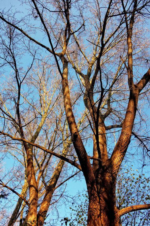 medžiai,medžių viršūnės,bagažinė,filialas,du medžiai,plikas filialus,lapuočių,rudens medžiai,aukso švytėjimas,mėlynas dangus,sezoninis,ruduo